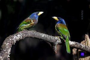 大拟啄木鸟 打渔翁(薛平)摄