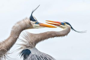 雀鸟品种:Great Blue Heron